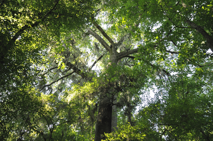This shot is taken from the ground looking up into the green canopy.  A many branched tree is the focus.